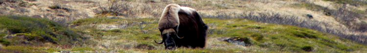 greenland-musk-ox.png