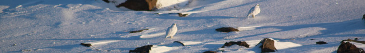 is-ptarmigan.png